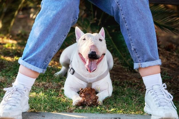 Bull terrier blanc avec un cône dans le harnais est couché sous un banc où sa fille adolescente propriétaire est assise dans le parc d'été. vue de face entre les jambes de la fille