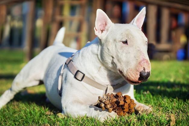 Bull terrier blanc dans un harnais jouant avec une grosse pomme de pin sur l'herbe verte à l'extérieur