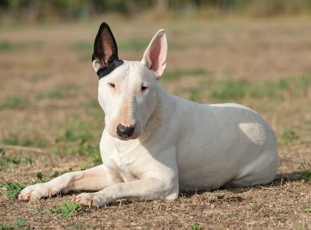 Bull-terrier blanc