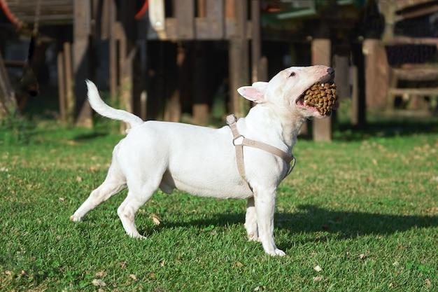 Bull terrier ludique blanc portant un harnais tenant dans sa bouche une grande pomme de pin debout sur l'herbe verte en journée d'été ensoleillée à l'extérieur