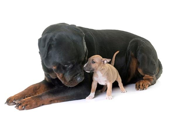 Bull terrier miniature et rottweiler