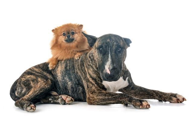Bull terrier et spitz
