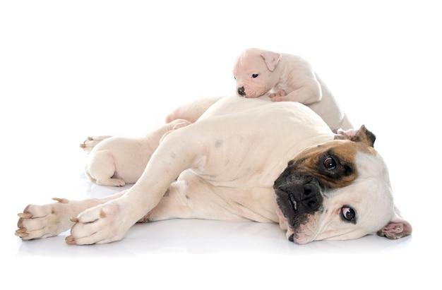 Bulldog américain mère et chiots