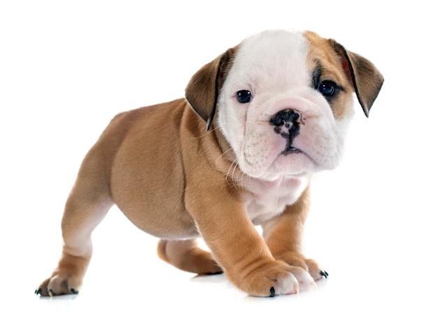 Bulldog anglais de chiot