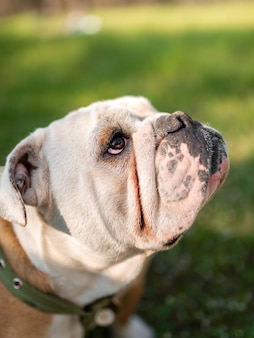 Bulldog anglais sur l'herbe verte