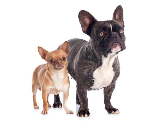 Bulldog français et chihuahua