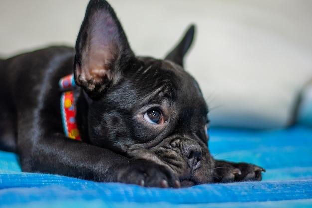 Bulldog français endormi