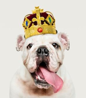 Bulldog portant une couronne