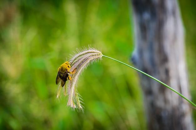 Bumble bee attrape l'herbe des fleurs