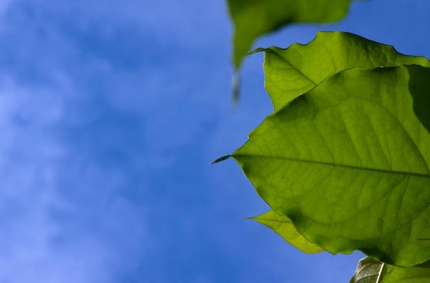 Bunchosia armeniaca feuilles vertes avec fond de ciel bleu