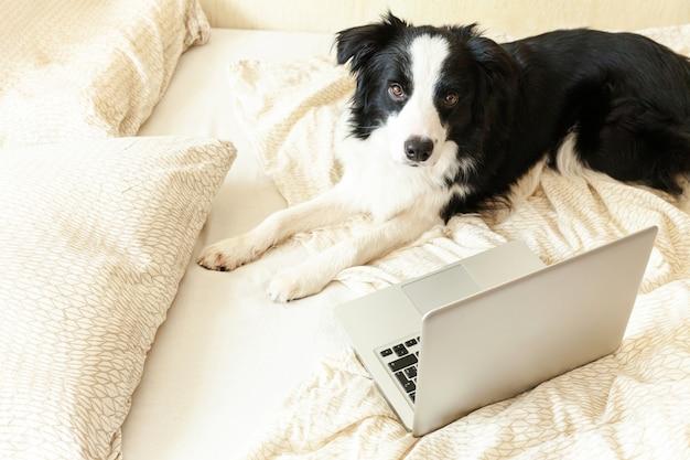 Bureau mobile à domicile. funny portrait cute puppy dog border collie sur lit travaillant surfer surfer sur internet en utilisant un ordinateur portable pc à la maison à l'intérieur. concept de quarantaine d'entreprise freelance pour animaux de compagnie.