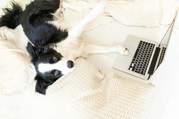 Bureau mobile à domicile. portrait drôle chiot mignon chien border collie sur lit travaillant surfer surfer sur internet en utilisant un ordinateur portable pc à la maison à l'intérieur. concept de quarantaine d'entreprise freelance pour animaux de compagnie.