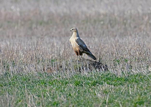 La buse à longues pattes (buteo rufinus) se trouve sur une colline au milieu d'un champ de chasse