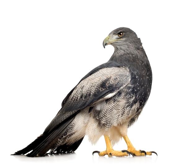 Buse à poitrine noire-aigle - geranoaetus melanoleucus en face sur un blanc isolé