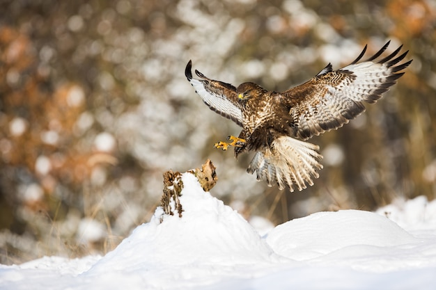 Buse variable atterrissant sur une souche d'arbre recouverte de neige en hiver