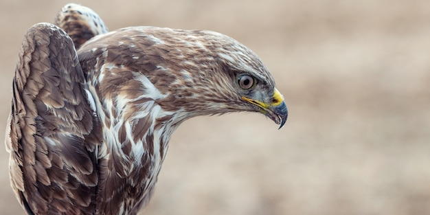 Buse variable, buteo buteo, close-up portrait. masculin.