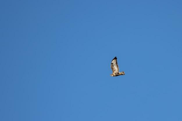 Buse variable (buteo buteo) volant près de horsham dans le west sussex