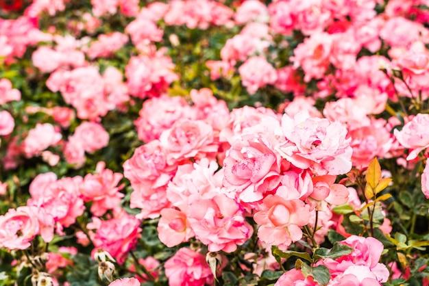 Bush avec beaucoup de roses roses fraîchement fleuries après les pluies de printemps.