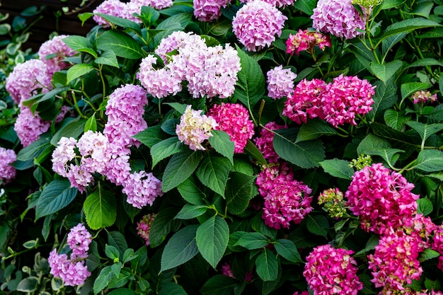 Bush avec de beaux hortensias lilas et roses dans un fond floral de parc d'été