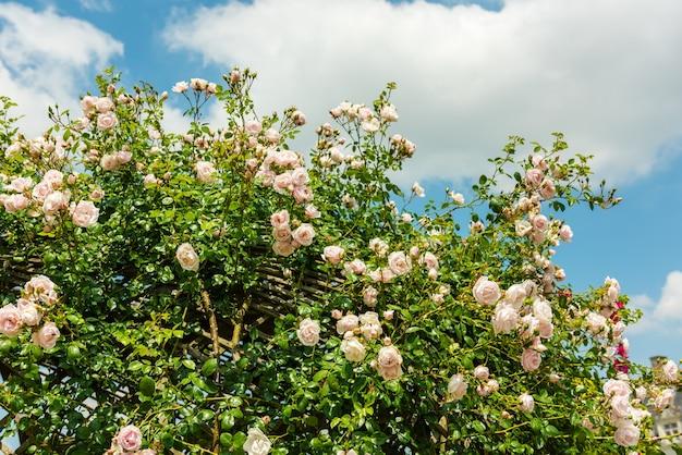 Bush de belles roses dans un jardin.