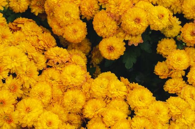 Bush de fleurs de chrysanthème jaune pour le concept de saison de printemps.