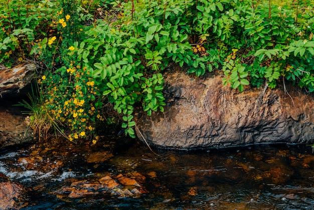 Bush avec des fleurs jaunes argentées en fleurs près de l'eau de source avec des pierres
