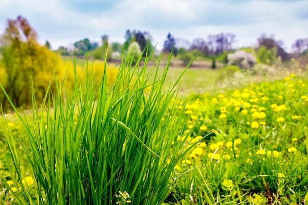 Bush d'herbe verte et de pissenlit jaune dans un pré par temps ensoleillé