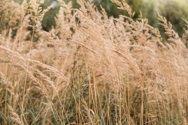 Bushgrass calamagrostis epigejos herbe séchée inflorescence