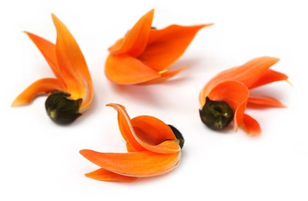 Butea monosperma ou fleur de palash d'asie du sud-est