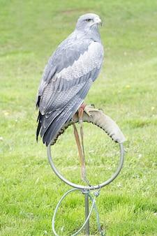 Buzzard-eagle (geranoaetus melanoleucus) perché sur un aubergiste artificiel