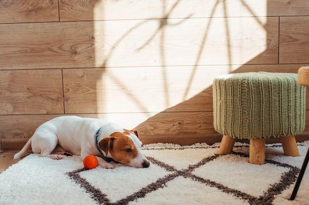 Le câble jack russell est blanc et marron. tourné dans un intérieur de maison