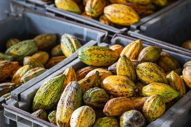 Les cabosses de cacao et de cacao dans des caisses à vendre