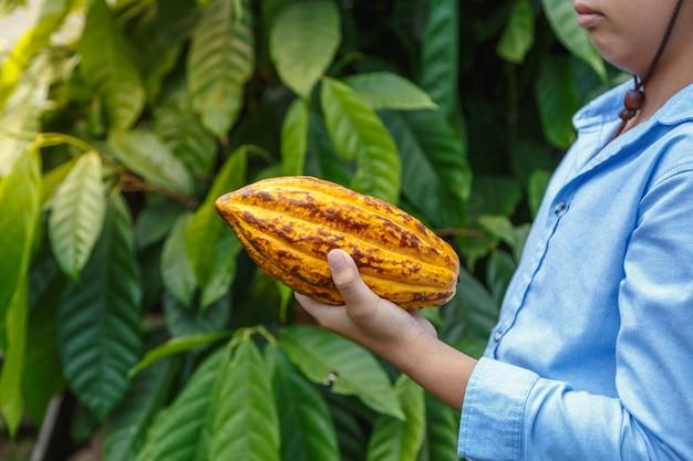 Les cabosses de cacao frais entre les mains des agriculteurs