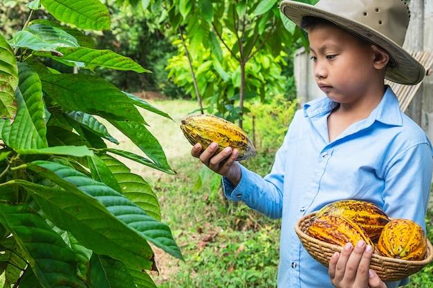 Cacao fraîchement récolté des cacaoyers.