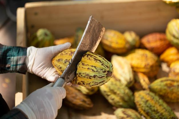 Cacao frais avec cabosses de cacao et fruits de cacao coupés en deux. gousse de cacao ouverte pour montrer les fèves de cacao à l'intérieur. mise au point sélective.