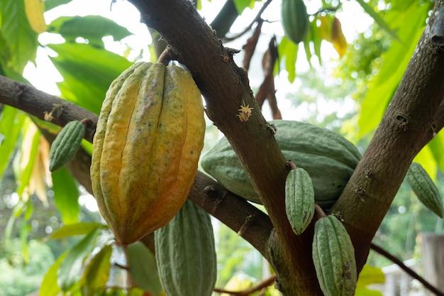 Le cacao frais pousse sur l'arbre. gousses de fruits de cacao biologique dans la nature. theobroma cacao.