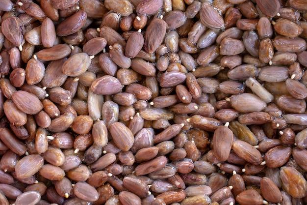 Cacao racine germination dans le panier en pépinière