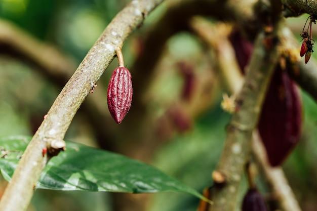 Cacao tree (theobroma cacao). gousses de fruits de cacao biologiques dans la nature.