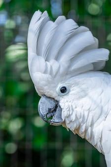 Le cacatoès blanc (cacatua alba), également connu sous le nom de cacatoès parapluie, est un cacatoès blanc de taille moyenne endémique de la forêt tropicale des îles d'indonésie.
