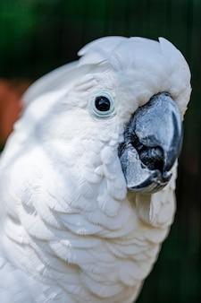 Le cacatoès blanc (cacatua alba), également connu sous le nom de cacatoès parapluie, est un cacatoès tout blanc de taille moyenne endémique de la forêt tropicale humide des îles d'indonésie.