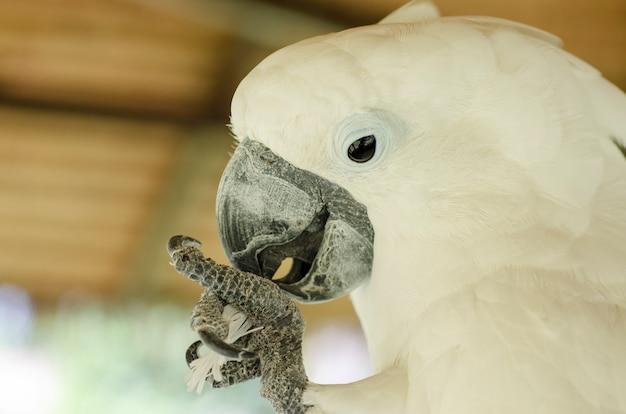 Cacatoès blanc fond flou