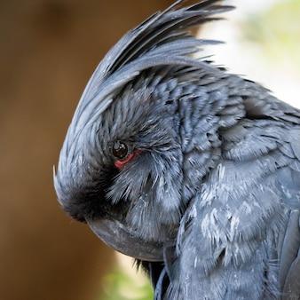 Cacatoès gris (cacatuidae)
