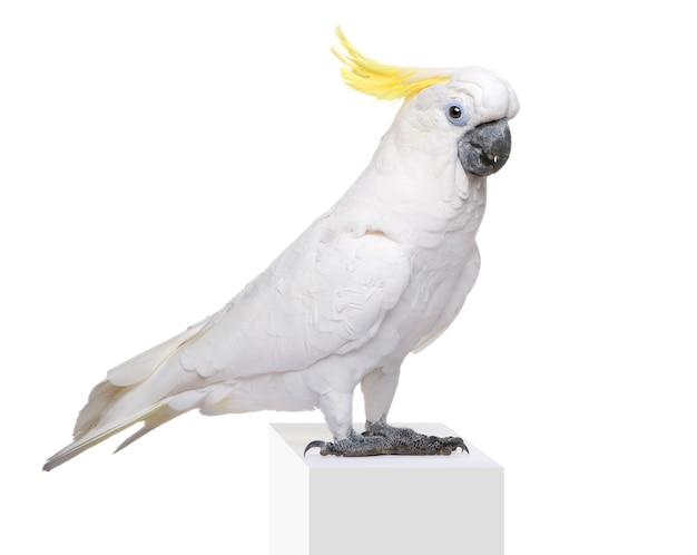 Cacatoès à huppe jaune, cacatua galerita