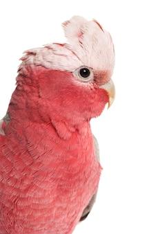 Cacatoès à poitrine rose (2 ans) isolé sur blanc