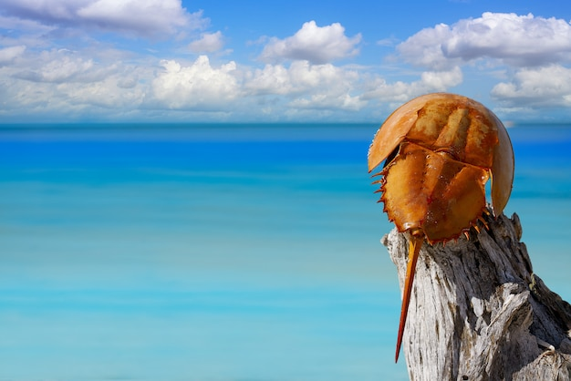 Cacerola de mar limulus polyphemus mexique