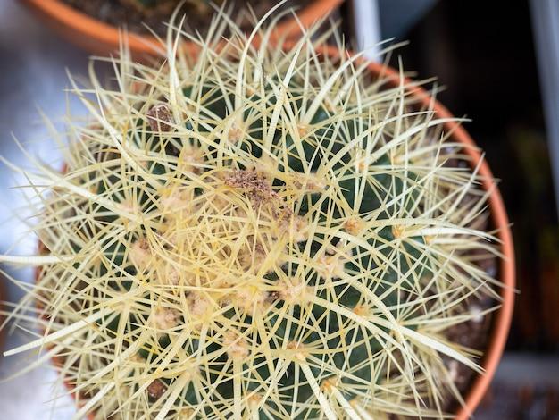 Cactus avec des aiguilles dans une vue de dessus de pot. plantes d'intérieur