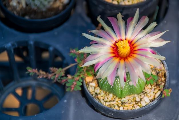 Cactus.belles fleurs de cactus dans le port.