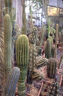 Cactus dans le jardin botanique msu, moscou, russie. collection de cactus