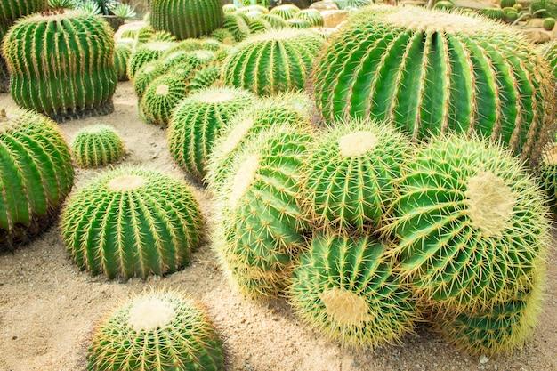 Cactus dans le jardin.