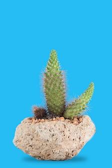 Cactus dans un pot en pierre volcanique pour l'intérieur avec un fond bleu pastel